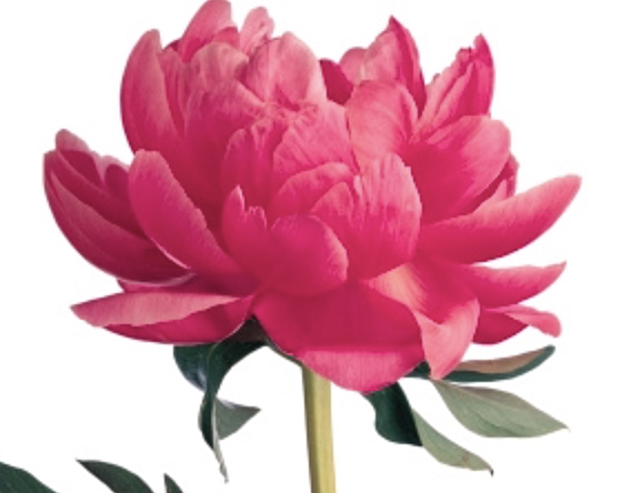 Flower (a dang flower)